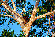 Red Howler monkeys in the fork of a tree at Lake Sandoval , Peruvian Rainforest, South America