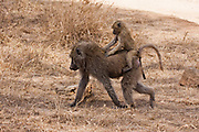 baby Olive baboon (Papio anubis). Photographed in Tanzania