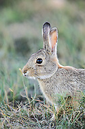 Eastern Cottontail Rabbit in Habitat