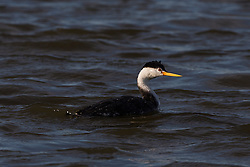 Clark's Grebe (Aechmophorus clarkii), Shoreline Park, Mountain View, California, United States of America