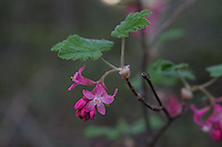 The red-flowering currant is not only a Pacific Northwest native found from Northern California all the way up to British Columbia, it is also a prized garden and landscaping shrub grown for its brightly colored and scented flowers in early spring. This one was found alongside Deep Lake in Enumclaw, Washington.