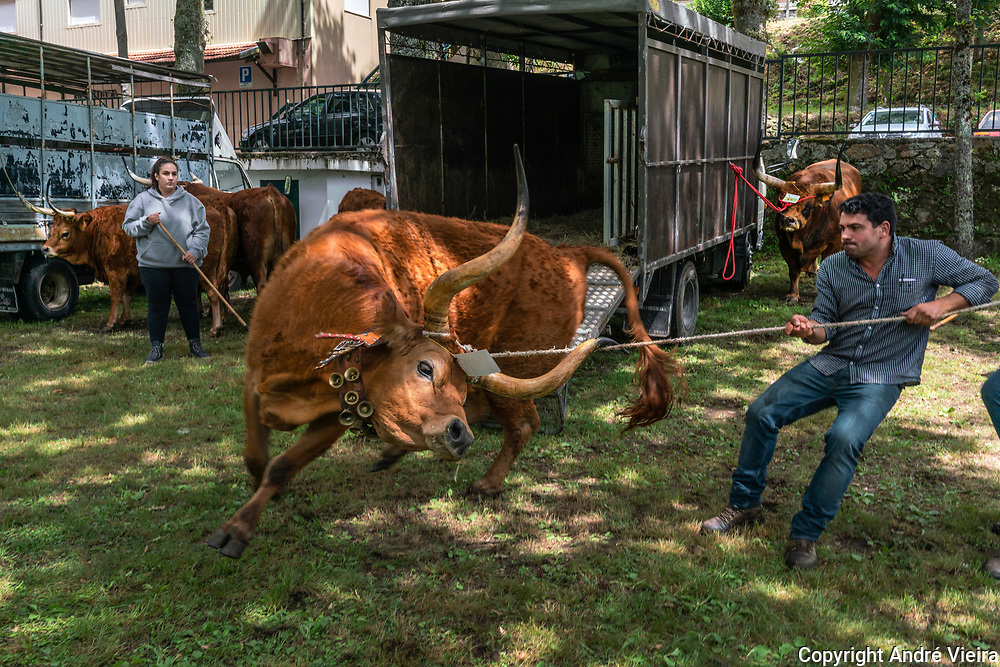 Farmer strugles to control his bull right after it received an award at a cattle fair dedicated to the Barrosão breed in Salto. The Barrosão, known for its small size, long horns and exquisite flavour is unique to the Barroso region and a delicacy increasingly popular in restaurants around Portugal