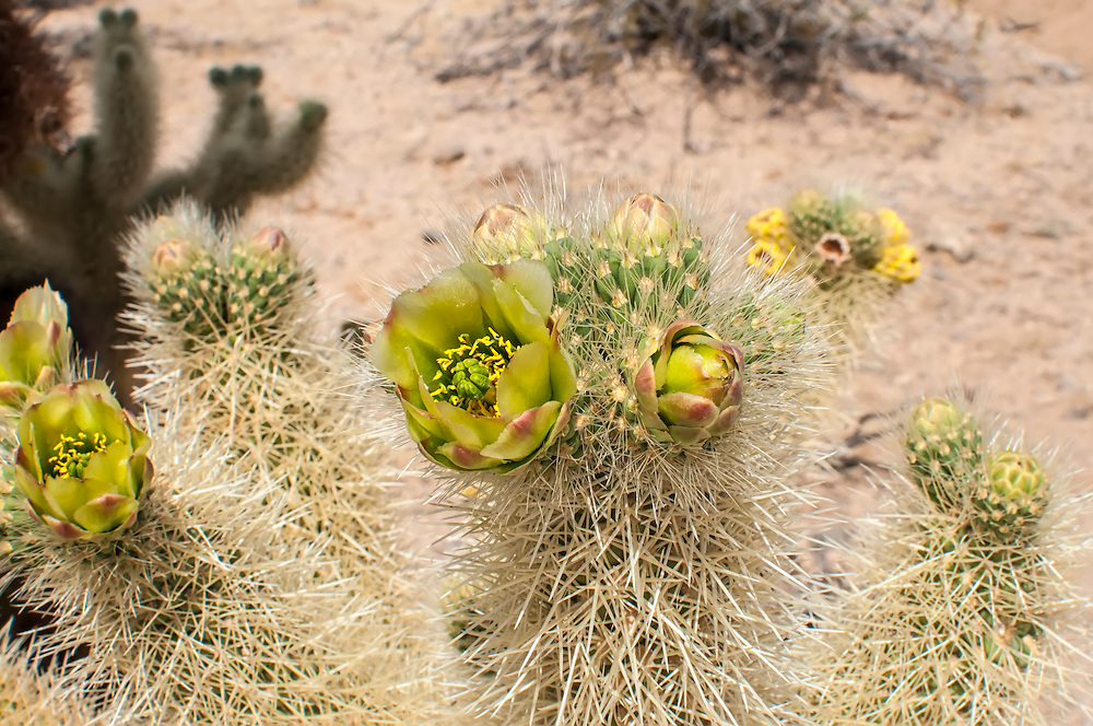 "Closeup detail of a blooming teddybear cholla in the Mojave Desert. Nothing says ""be careful"" like this impenetrable mass of bristling spines, each of which packs a mind-numbing whallop!"