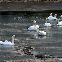 Swans and geese make patterns in the ice as thy cut their way through the ice on this frozen pond at Dowally in Perthshire....02.01.12<br /> Picture by Graeme Hart.<br /> Copyright Perthshire Picture Agency<br /> Tel: 01738 623350  Mobile: 07990 594431