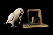 [captive] Goffin's cockatoo (Cacatua goffiniana). In this experiment, the cockatoo learns to use a tool. It needs to poke a treat (peanut) in a box using a stick until the treat falls out off the box. Handling of the stick requires coordination of foot and beak. Goffin's cockatoos or Tanimbar Corellas are endemic to the Tanimbar archipelago in Indonesia. Research on their cognitive abilities is done in the Goffin Lab (Lower Austria) by Dr. Alice M. I. Auersperg. Sequence 7/10. | Goffinkakadu (Cacatua goffiniana). In diesem Versuch muss der Goffinkakadu erlernen, mit einem Stock nach einer Belohnung (Erdnuss) zu stochern, um sie zum Rausfallen aus einer ansonsten unzugänglichen Box zu bringen. Die Handhabung des Stöckchens verlangt Koordination von Fuß und Schnabel. Der Kakadu lernt hierbei den Werkzeuggebrauch. Der Goffinkakadu ist eine Papageienart und kommt in freier Wildbahn ausschließlich auf der indonesischen Inselgruppe Tanimbar vor. Forschung zu kognitiven Fähigkeiten des Goffinkakadus wird im Goffin Lab (Niederösterreich) von Dr. Alice M. I. Auersperg durchgeführt. Sequenz 7/10.
