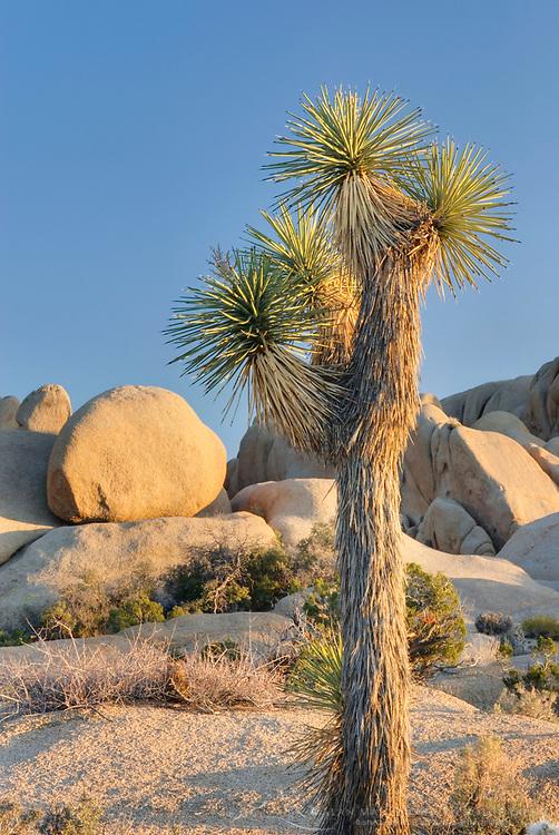 Joshua Tree (Yucca brevifolia), Joshua Tree National Park California