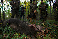 Romanian hunters and shot Wild boar (Sus scrofa) sow in the forest area outside the village of Mehadia, Caras Severin, Romania.
