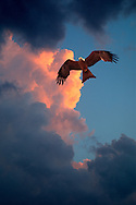 Hawk against cumulus nimbus clouds at sunset..For larger JPEGs and TIFF versions contact EFFECTIVE WORKING IMAGE via our contact page at : www.photography4business.com
