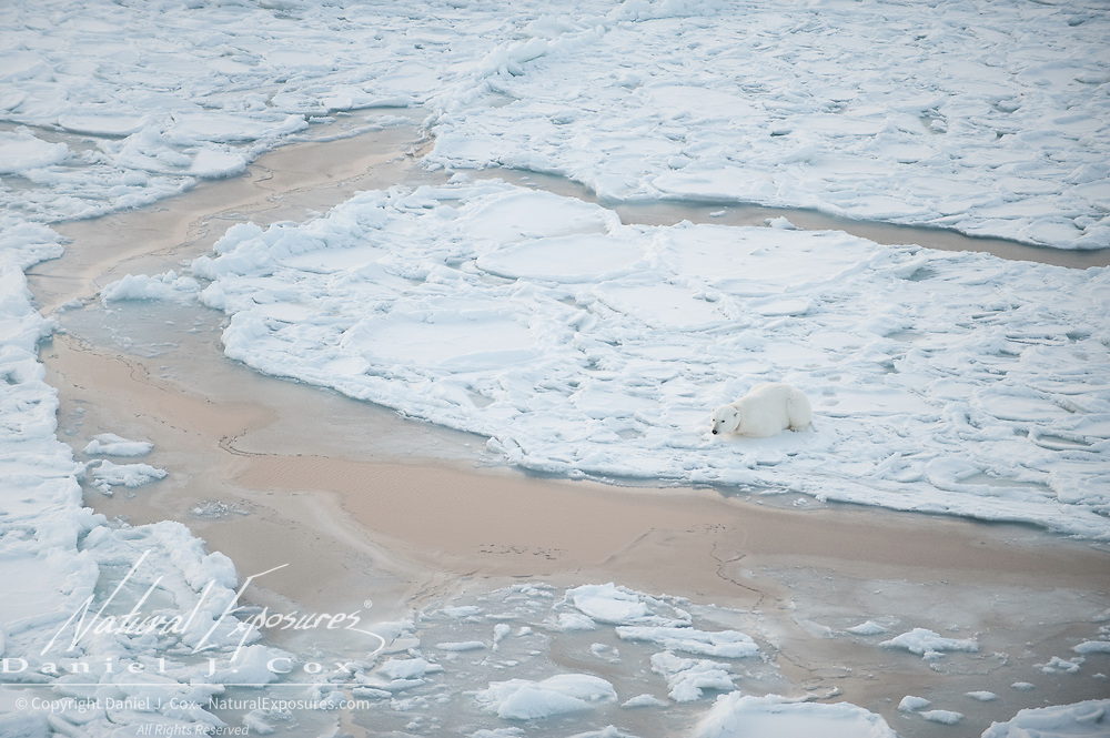 A female polar bear with a radio tracking collar waits for the ice of the Beaufort Sea to freeze.