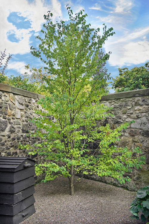 Cercidiphyllum japonicum (katsura tree) with bee hive compost bin at the end of the garden