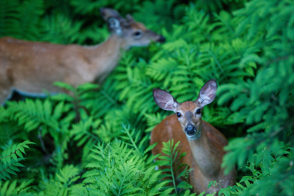 White-tailed deer, Mont-Tremblant, Quebec. June 13, 2013. © Allen McEachern.