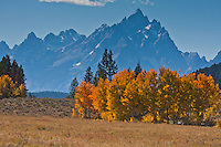 Golden aspen trees reflect the autumn season.  Grand Teton National Park, Wyoming, USA.