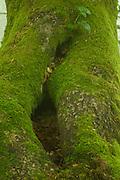 Mossy tree at Peloño Forest, Ponga, Asturias, Spain