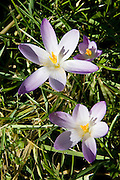 Crocuses grow in Oxfordshire woodland , The Cotswolds, United Kingdom