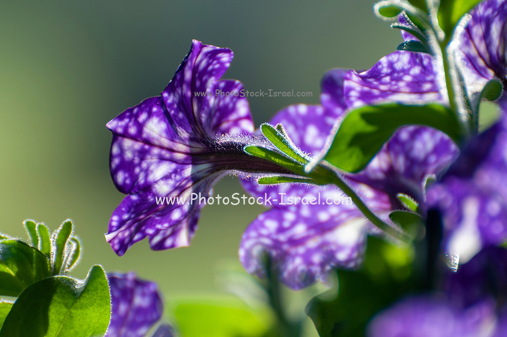 Close up of a single purple petunia flower with white spots known as Night Sky