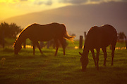 Horses grazing, Upcountry, Kula, Maui, Hawaii<br />