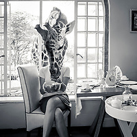 A Rothschild's Giraffe comes in for a feed at Giraffe Manor, Nairobi, Kenya