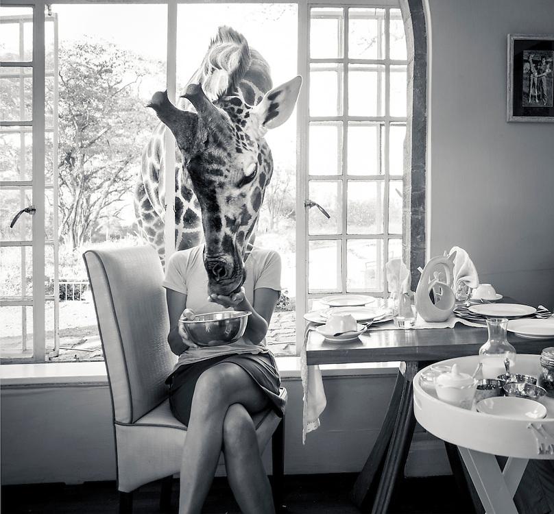 A Rothschild's Giraffe comes in for a feed at Giraffe Manor, Nairobi, Kenya