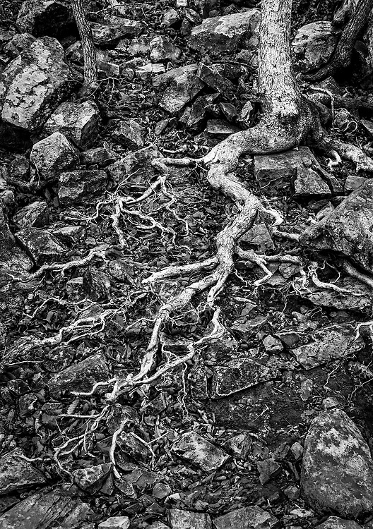 An exposed tree root along the flood plain of the Tuckertown Reservoir between High Rock Lake and Baden Lake, NC.