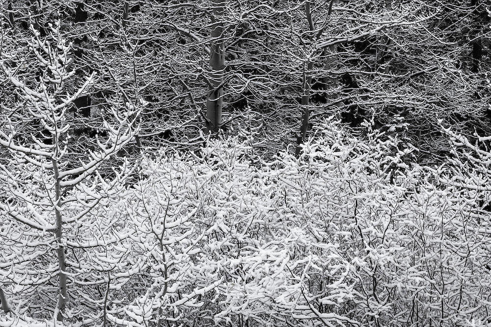 Snowy Aspen trees near Truckee, California