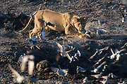 A lioness, Panthera leo, chases doves from a waterhole, Savuti marsh, Chobe National Park, Botswana.