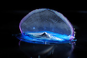 By-the-wind Sailor (Velella velella) is a rafting pelagic marine organism with a triangular sail. Always floating/sailing on the sea surface. The deep blue colour of Velella is due to peculiar pigments (astaxantine) that defend the colony from the sun light. Velella is not a single animal, but it is colony. Sargasso Sea, Bermuda | Segelqualle (Velella velella)
