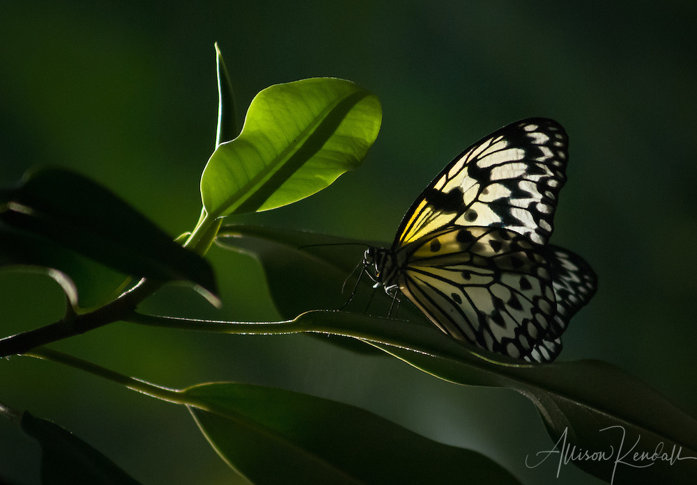 A paper kite butterfly rests on sunlit green jungle leaves