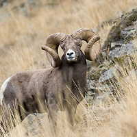 world record rocky mountain bighorn sheep