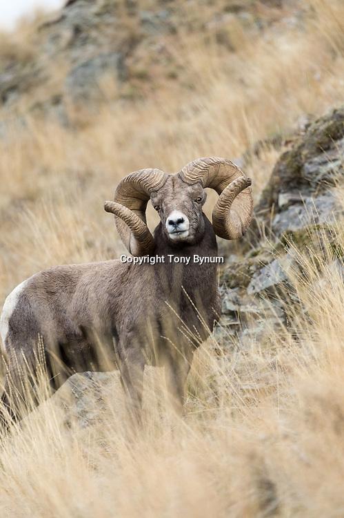world record rocky mountain bighorn sheep