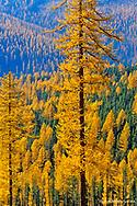 Larach aka tamarack tree turn golden in autumn in the Kootenai National Forest of Montana