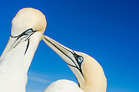 Cape Gannets pair bonding through preening, Malgas Island, West Coast National Park, Western Cape, South Africa