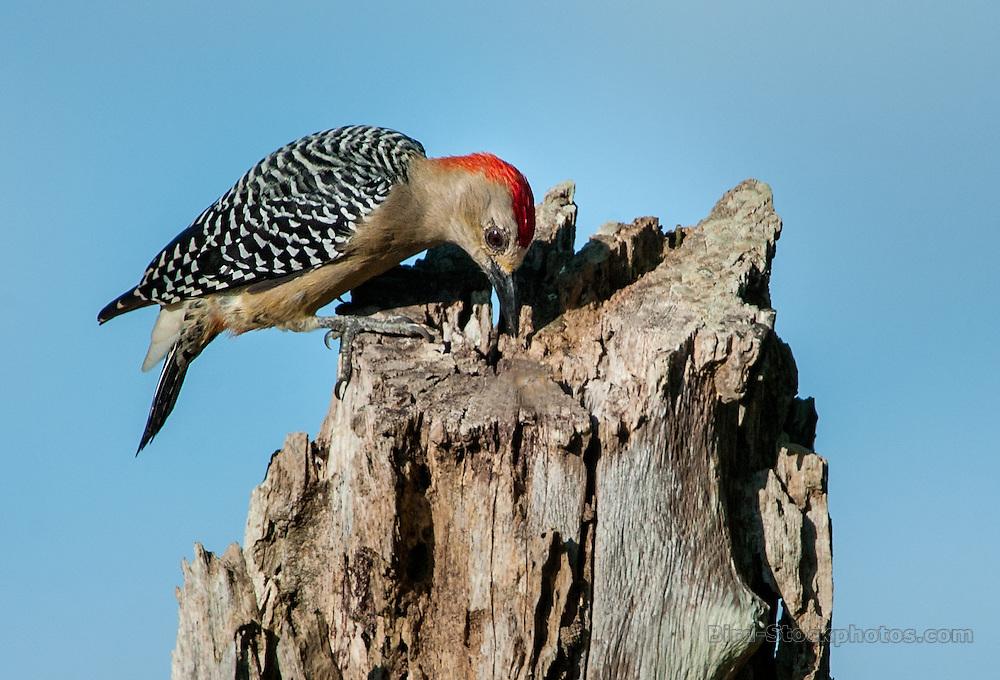Red-crowned Woodpecker, Melanerpes rubricapillus, Panama, by Owen Deutsch