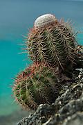 Turk's Cap Cactus (Melocactus macracanthos)<br /> Slagbaai National Park<br /> BONAIRE, Netherlands Antilles, Caribbean<br /> HABITAT & DISTRIBUTION: Cactus Scrub, Semi desert Eco-system, Bonaire