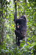 Chimpanzee <br /> Pan troglodytes<br /> Mother climbing tree while carrying three month old infant<br /> Tropical forest, Western Uganda