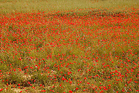 red poppies in a field in Provence