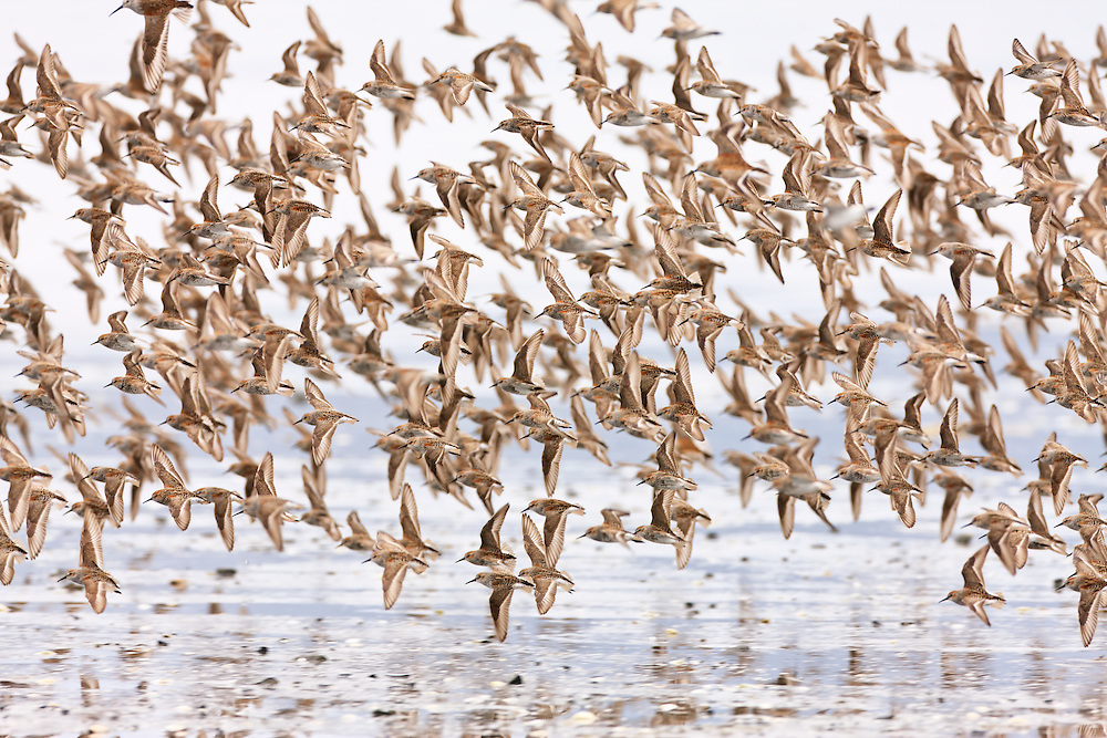 Swarms of Western Sandpipers (Calidris mauri) numbering in the thousands converge on Hartney Bay during low tide to feed and refuel on their stop over in the Copper River Delta near Cordova, in Southeast Alaska, during the annual migration to their summer breeding grounds in the Arctic. Afternoon.