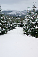 Forest area in the snow, County Wicklow, Ireland