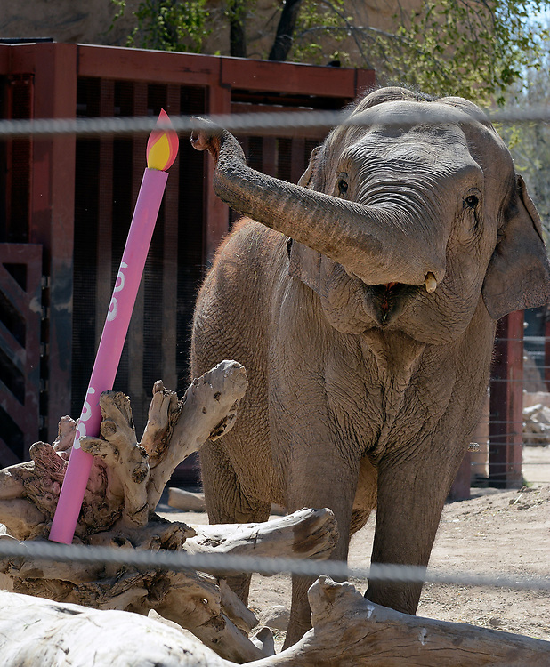 jt032517d/a sec/jim thompson/  Irene reaches for the paper candle stuffed with goodies in the elephant grounds for her 50th birthday celebration.  Friday March 24, 2017. (Jim Thompson/Albuquerque Journal)