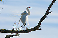 Guana River State Park, Florida -- Great Egret, Ardea alba, also known as the Great White Egret, is pictured in breading plumage. In the early half of the last century the egret's plumes were coveted decorations for ladies' hats. Almost wiped out, the species recovered after the birds were protected by law.