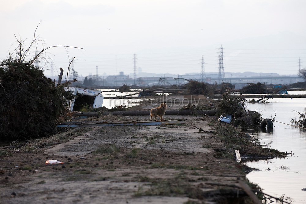 A dog wanders through an area devastated by the tsunami that followed the M9 earthquake  in  Sendai, Japan on 14 March, 2011.  Photographer: Robert Gilhooly