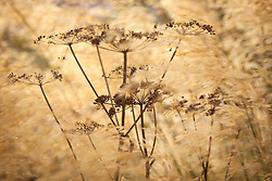 Cow parsley seedhead amongst Stipa gigantea. Anthriscus sylvestris
