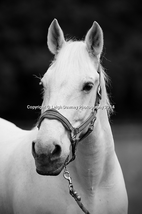 Horse portraits at Hacton Park Corner Farm, Upminster, Essex. 26th May 2014. © Credit: Leigh Dawney Photography 2014.