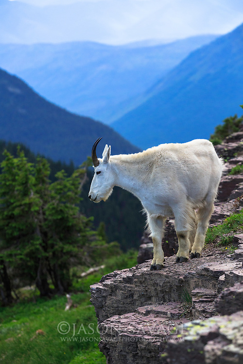 Mountain Goat, Glacier National Park, Montana