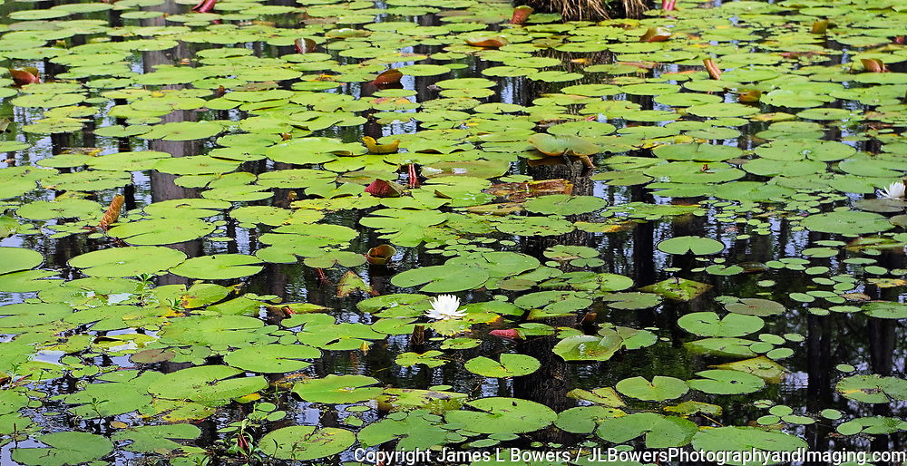 Lily Pads in Cypress Swamp
