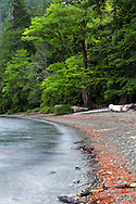 Winds blow the Maple tree branches on the beach at Cameron Lake near Port Alberni, British Columbia, Canada