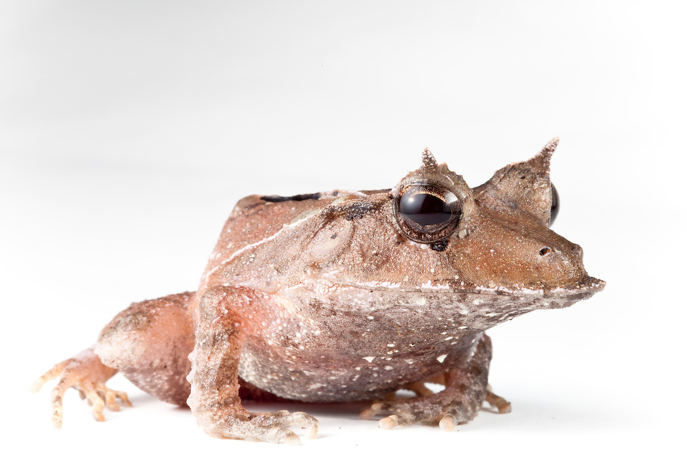 Eyelash frog, Ceratobatrachus guentheri, against a white background