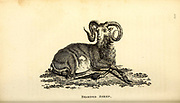 Bearded Sheep from General zoology, or, Systematic natural history Vol II Part 2 Mammalia, by Shaw, George, 1751-1813; Stephens, James Francis, 1792-1853; Heath, Charles, 1785-1848, engraver; Griffith, Mrs., engraver; Chappelow. Copperplate Printed in London in 1801 by G. Kearsley