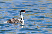 Western Grebe, with baby chick on back, North America