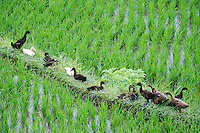 Ducks all in a row on a path through a paddy field.