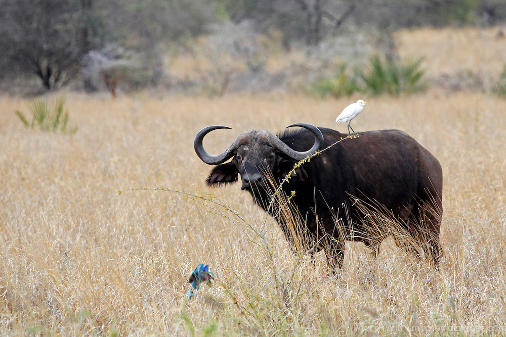 Africa, Kenya, Meru. Buffalo of Meru National Park.